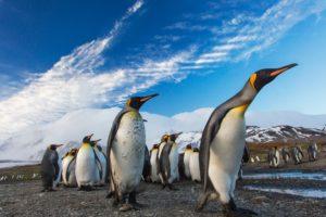 旭山動物園のキングペンギン、くちばしのツイートが6万いいね