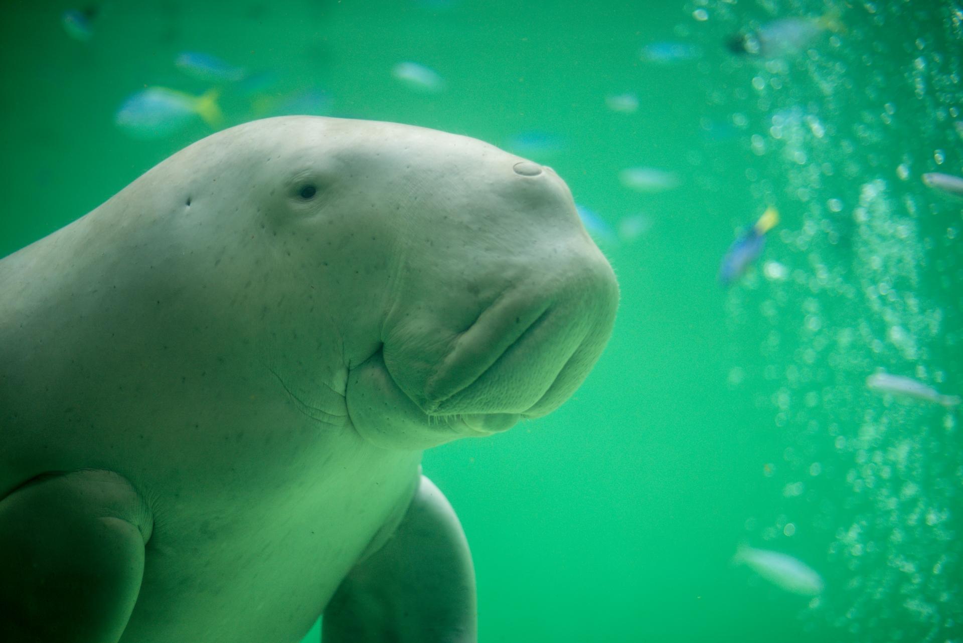 ジュゴンとマナティの違い。その生態、数、見られる水族館など